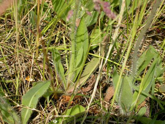 Hieracium praealtum - Grijs havikskruid