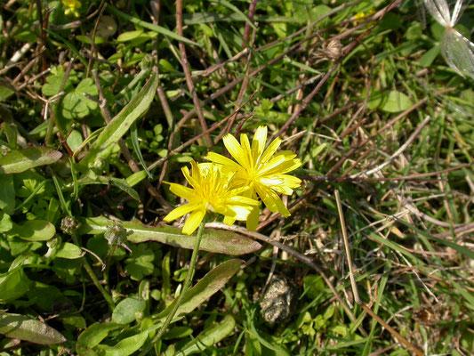 Leontodon autumnalis - Vertakte leeuwetand