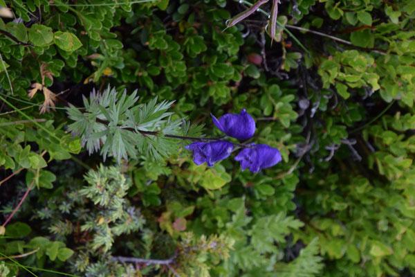 Aconitum variegatum - Bonte monnikskap