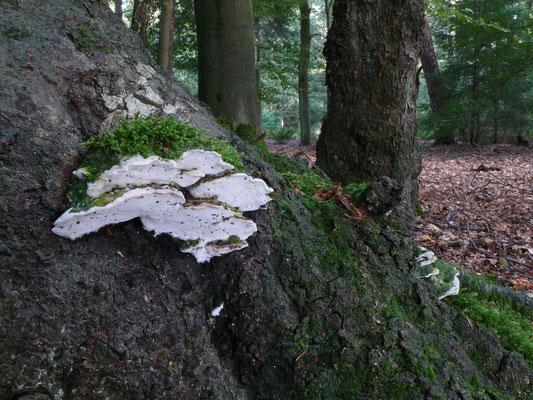 Oxyporus populinus - Witte populierenzwam