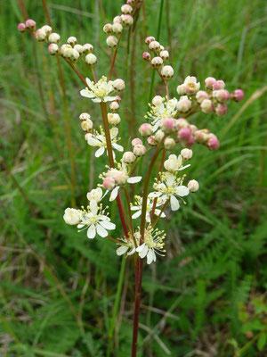 knolspirea (Filipendula vulgaris)