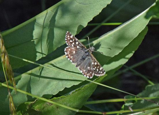 Aardbeivlinder (Pyrgus malvae)