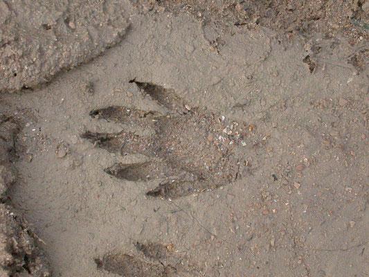 voetspoor capibara