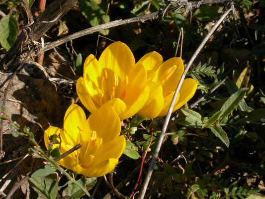 Sternbergia lutea - Herfstnarcis