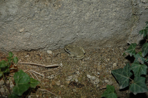 vroedmeesterpad (Alytes obstreticans)