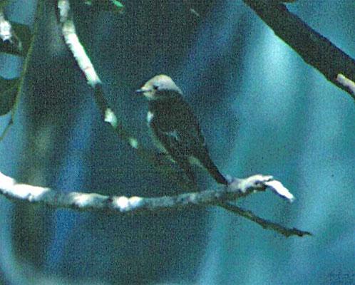 Balkanvliegenvanger