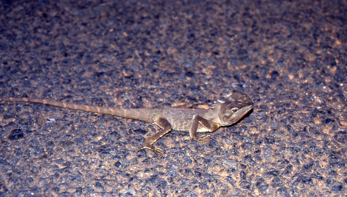 Hypsilurus spinipes - Southern Angle-headed Dragon