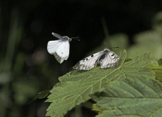 Zwarte apollovlinder (Parnassius mnemosyne) met Klein geaderd witje (Pieris napi), foto Ruud