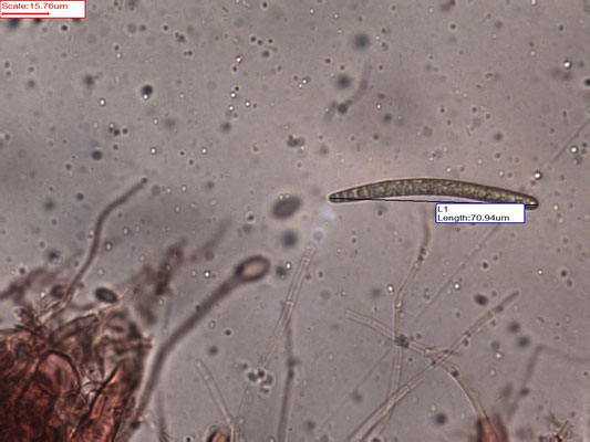 Geoglossum elongatum - Kortsporige aardtong