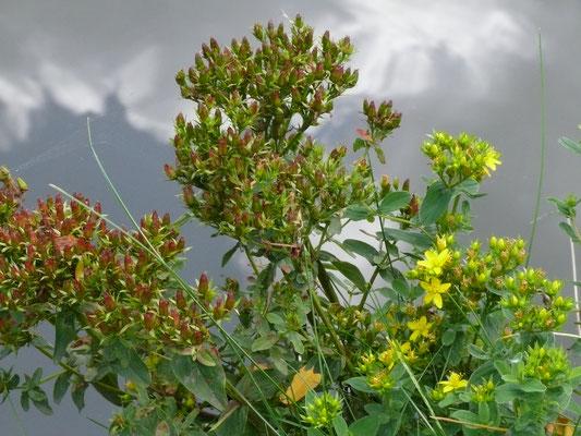 Hypericum tetrapterum - Gevleugeld hertshooi