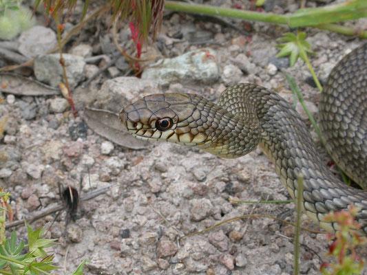 Dolichophis caspius - Kaspische toornslang