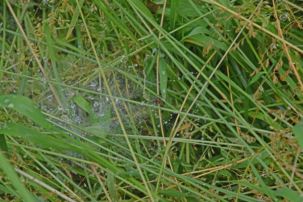 Doolhofspin (Agelena labyrinthica)
