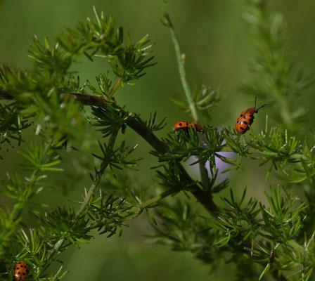 Rode aspergekever (Crioceris duodecimpunctata)