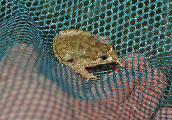 Discoglossus galganoi - West-Iberische schijftongkikker