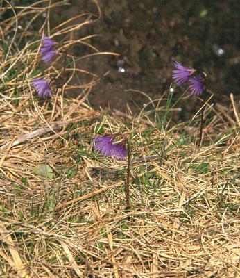 Soldanella alpina - Allpenkwastjesbloem