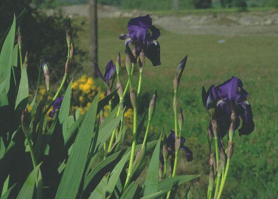 Iris germanica - Duitse lis