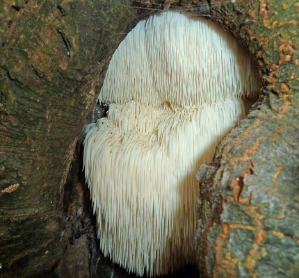 Hericium erinaceum - Pruikzwam