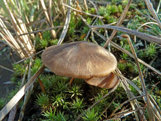 Entoloma sericeum - Bruine satijnzwam