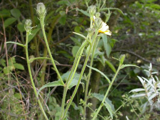 Picris hieracioides - Echt bitterkruid
