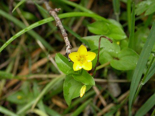 Lysimachia nemorum - Boswederik