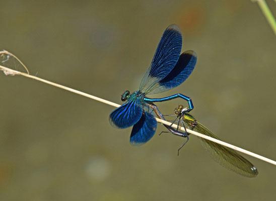 Weidebeekjuffer (Calopteryx splendens)