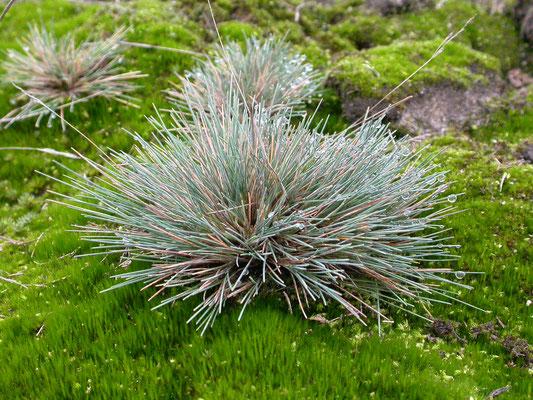 Corynephorus canescens - Buntgras