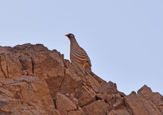 Arabische woestijnpatrijs