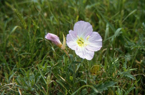 Oenanthera speciosa - Snowy Primrose