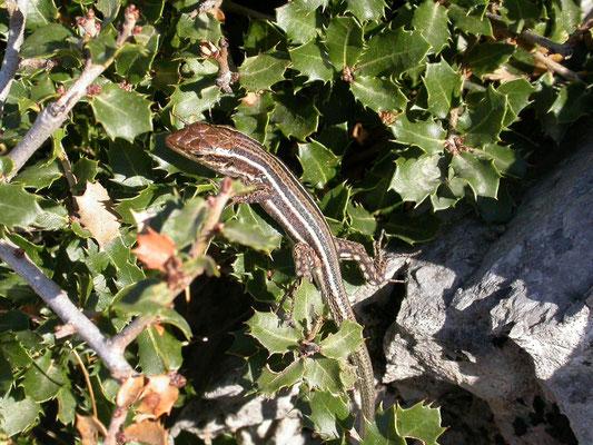 Podarcis peloponnesiacus (Peloponnesoshagedis)