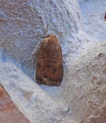 Noctua interjecta - Kleine huismoeder