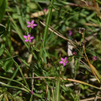 Centaurium pulchellum - Fraai duizenguldenkruid