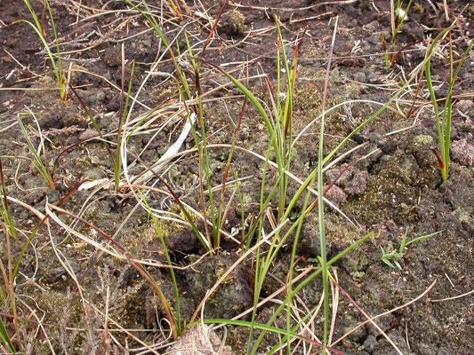 Carex pilulifera - Pilzegge