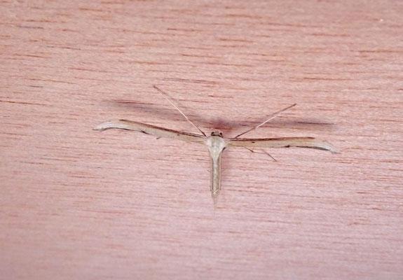 Emmelina monodatyla - Windevedermot