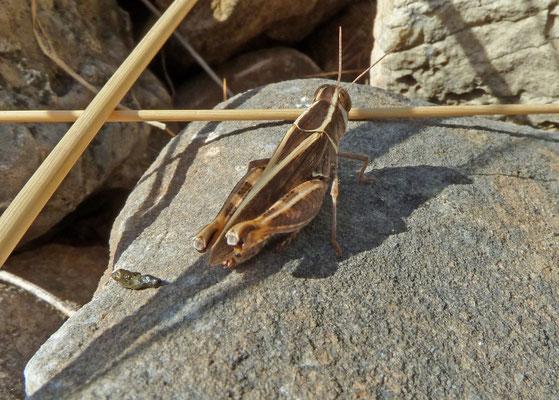 Caliptamus italicus
