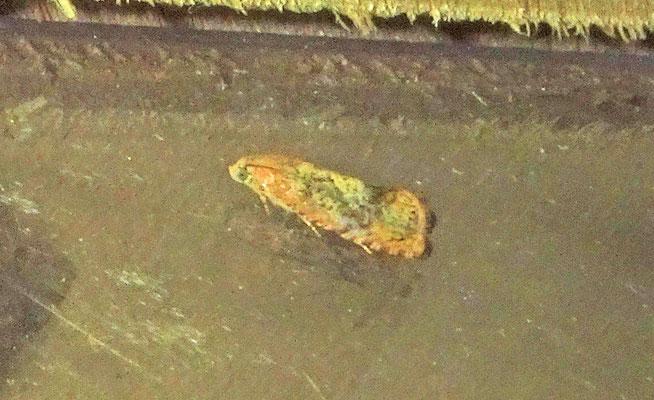 Cydia amplana - Oranje eikenbladroller