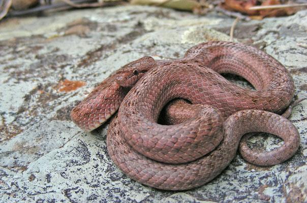 Coronella girondica - Girondische gladde slang