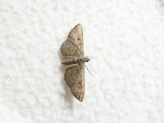 Eupithecia intricata - Streepjesdwergspanner