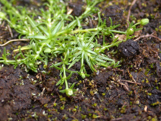 Sagina procumbens - Liggend vetmuur