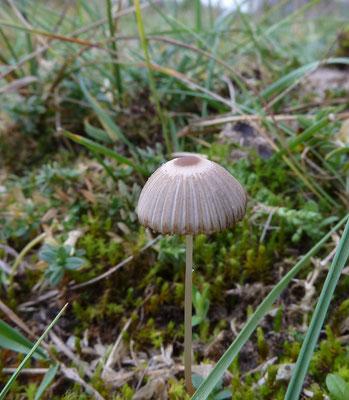 Parasola plicatilis sl - Plooirokje