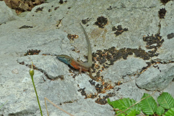 Algyroides nigropunctatus, mannetje (Dalmatische kielhagedis)
