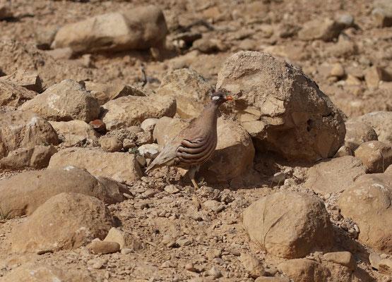Arabische zandpatrijs