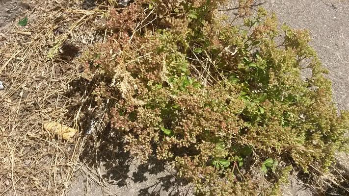 Polycarpon tetraphyllum - Kransmuur