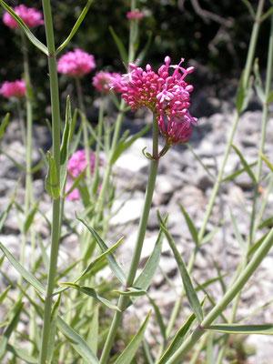 Centranthus ruber - Rode spoorbloem