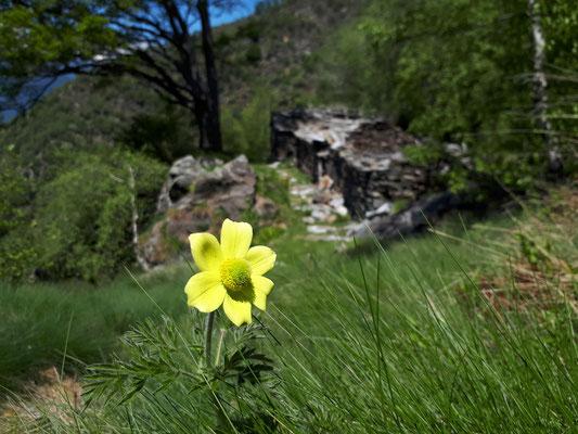 Pulsatilla alpina, gele vorm, foto Marijn