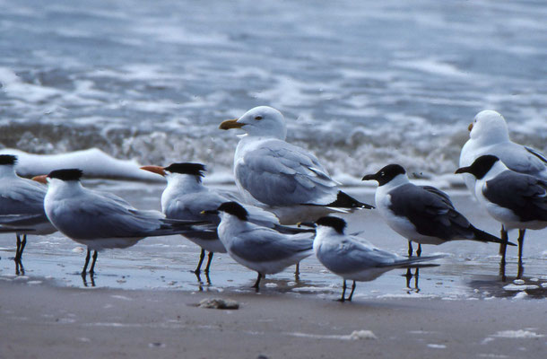 Royal Tern, Sandwich Tern, Laughing Gull, American Herring Gull