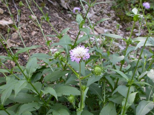 Knautia dipsacifolia - Bergknautia