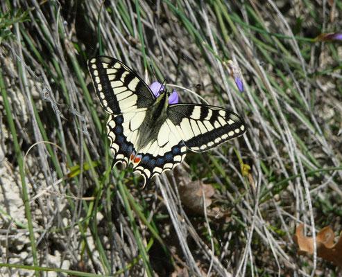 koninginnepage (Papilio machaon)