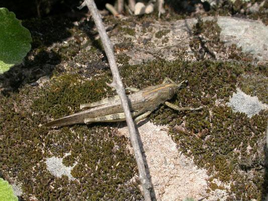 Anacrydium aegyptium (Egyptische treksprinkhaan)