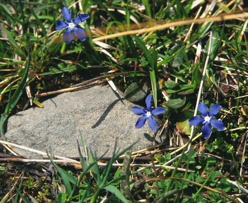 Gentiana brachyphylla