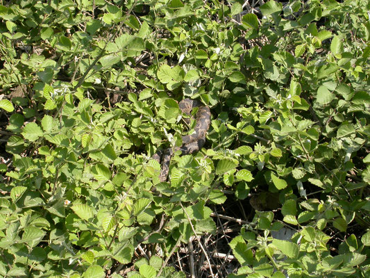 Kleinaziatische adder (Montivipera xanthina)